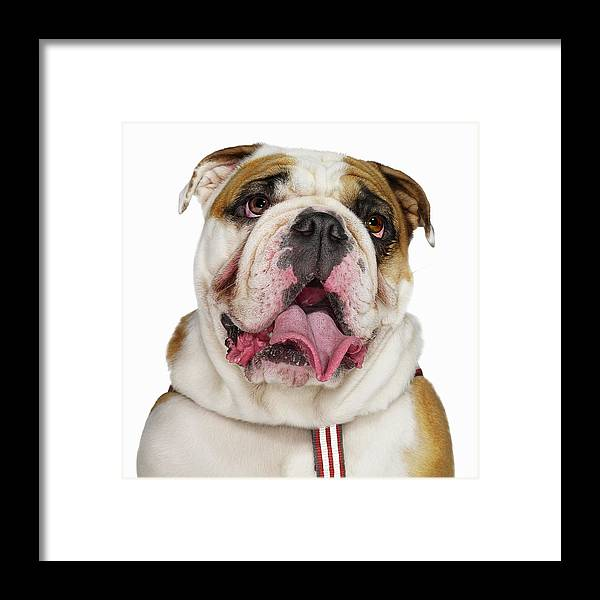 Pets Framed Print featuring the photograph Bulldog by Gandee Vasan