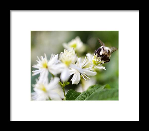 Flower Framed Print featuring the photograph Bumble Bee On Clematis by Ginger Wagner