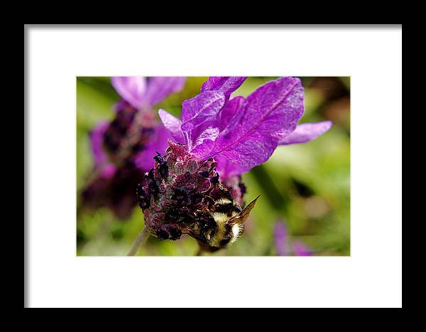 Bumble Bee Framed Print featuring the photograph Bumble Bee Pollinating by Lisza Anne McKee