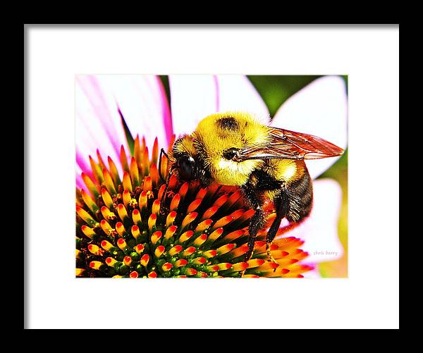 Bee Framed Print featuring the photograph Bumblebee On Echinacea by Chris Berry