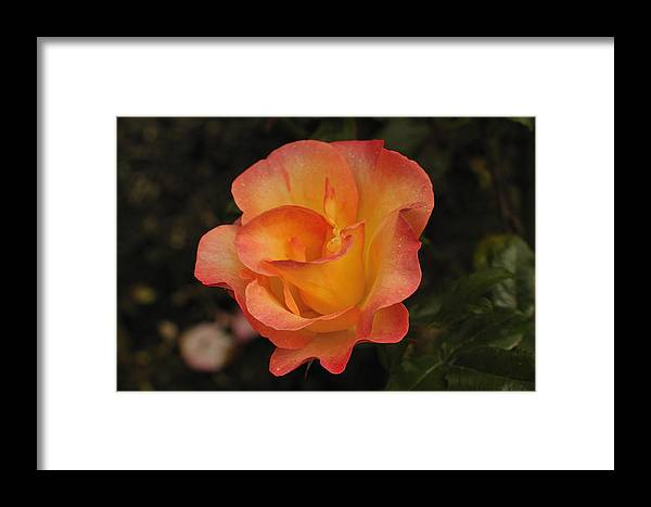 Rose Framed Print featuring the photograph Burning Desire by Clay and Gill Ross