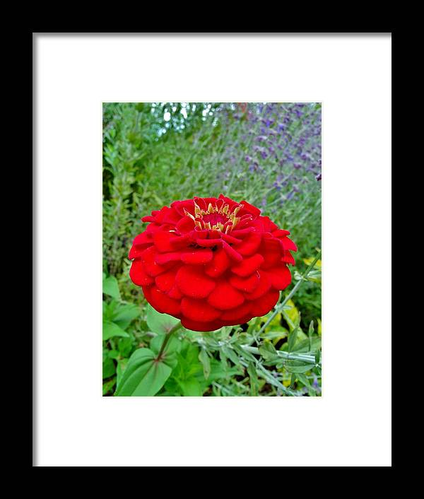 Framed Print featuring the photograph Burst Of Zinnia by Hominy Valley Photography