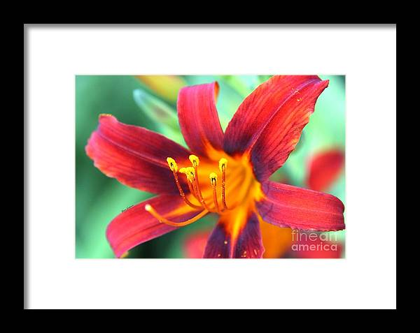 Daylily Framed Print featuring the photograph Burst Yellow by Yumi Johnson