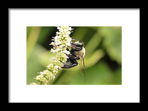Bumble Bees Framed Print featuring the photograph Busy As A Bee by Michelle DiGuardi