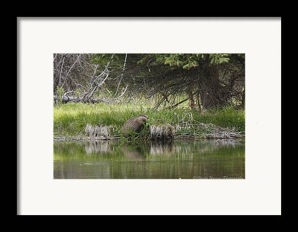 Grand Tetons Framed Print featuring the photograph Busy Beaver by Charles Warren