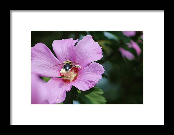 Bee Framed Print featuring the photograph Busy Bee by Savannah Riley