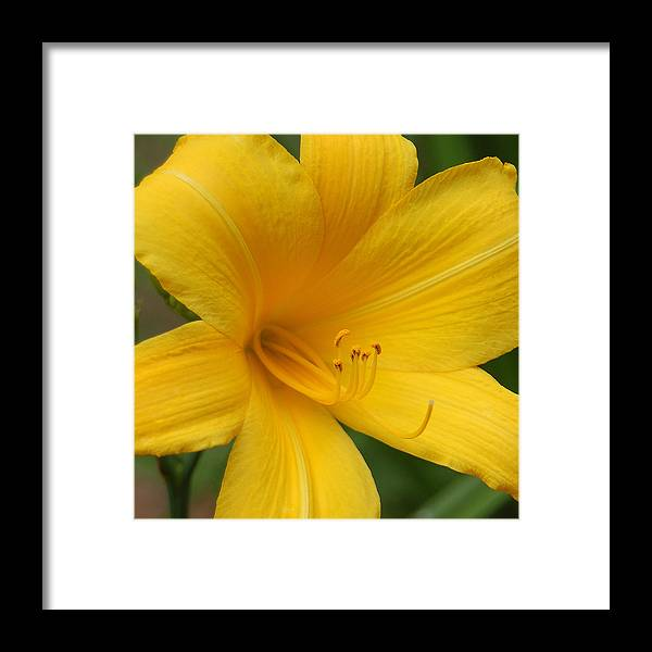 Yellow Framed Print featuring the photograph Buttered Popcorn by Suzanne Gaff