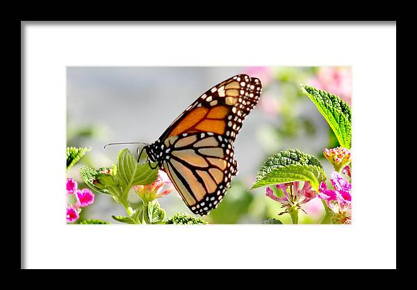 Bloom Framed Print featuring the photograph Butterfly At Work by Dennis Dugan