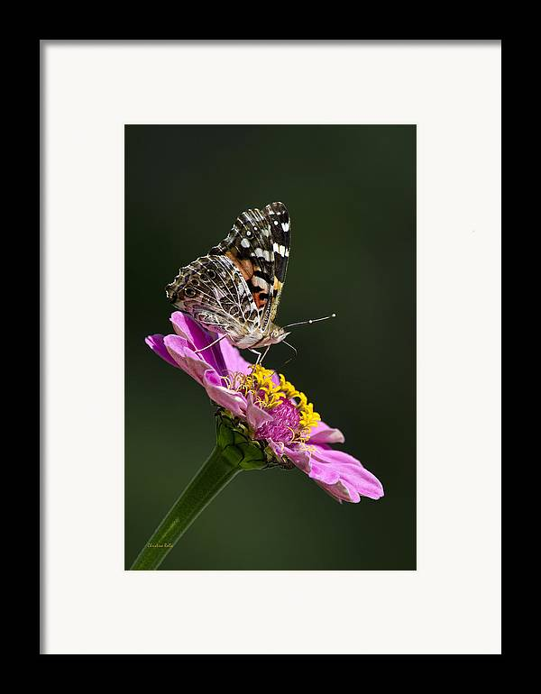 Animal Framed Print featuring the photograph Butterfly Blossom by Christina Rollo