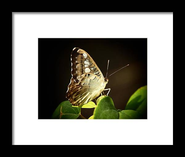 Butterfly Framed Print featuring the photograph Butterfly In The Light by Linda Morland