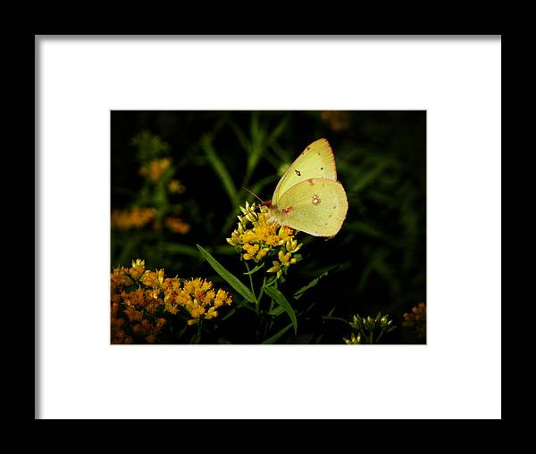Butterfly Framed Print featuring the photograph Butterfly Kiss by Zinvolle Art