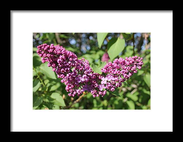 Lilac Framed Print featuring the photograph Butterfly Lilac by Mavis Reid Nugent