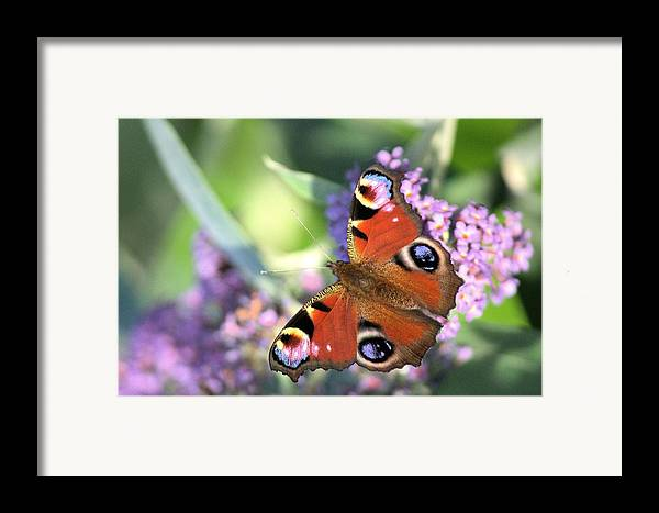Butterfly Framed Print featuring the photograph Butterfly On Buddleia by Gordon Auld