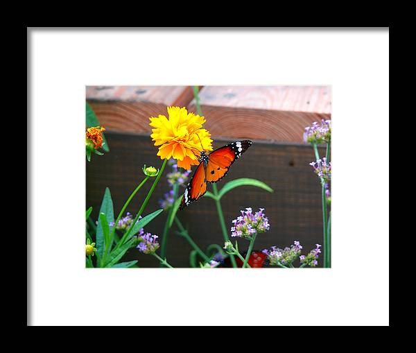 Nature Framed Print featuring the photograph Butterfly On Flower by Kevin Jackson