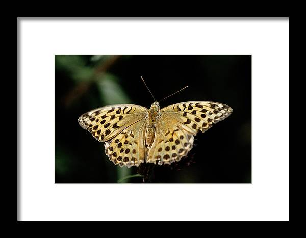 Butterfly Framed Print featuring the photograph Butterfly by Patrick Kessler