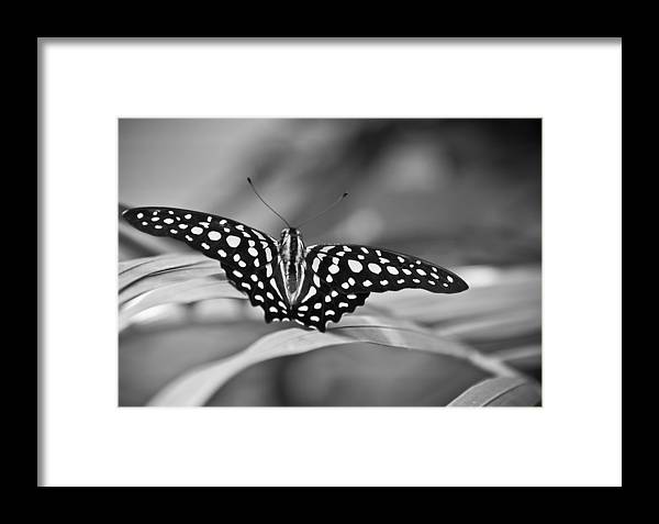 Butterfly Black & White Framed Print featuring the photograph Butterfly Resting by Ron White