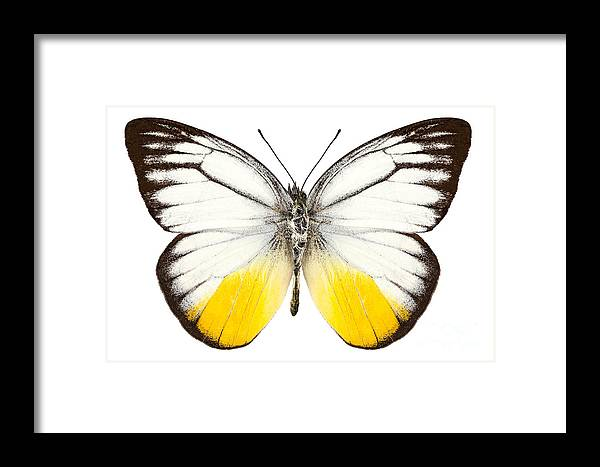 Thailand Framed Print featuring the photograph Butterfly Species Cepora Judith by Pablo Romero