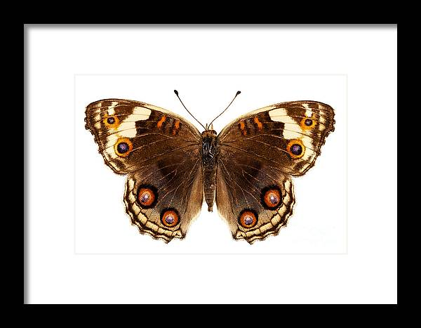 Indonesia Framed Print featuring the photograph Butterfly Species Junonia Orithya by Pablo Romero