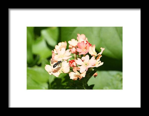 Bee Framed Print featuring the photograph Buzy by Sue Chisholm