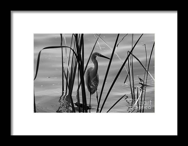 Water Birds Framed Print featuring the photograph Bw Reflections by Kristy Ollis
