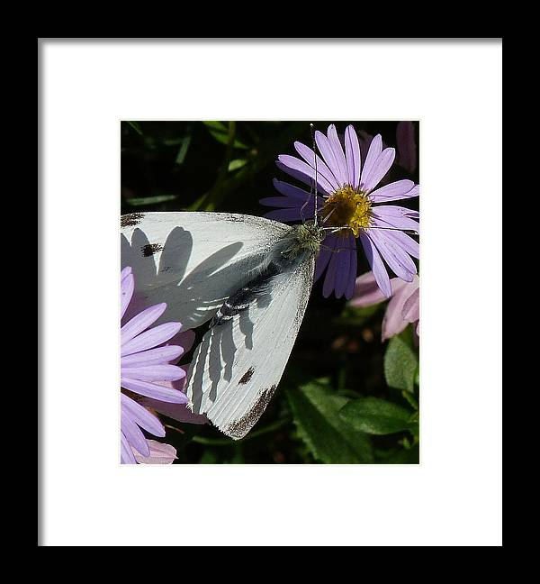 Butterfly Framed Print featuring the photograph Cabbage White In Shadow by Margaret Saheed