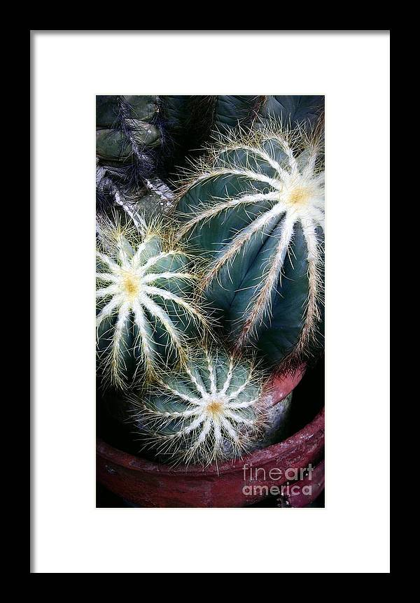 Cactus Family 2 Framed Print featuring the photograph Cactus Family 2 by Marlene Williams