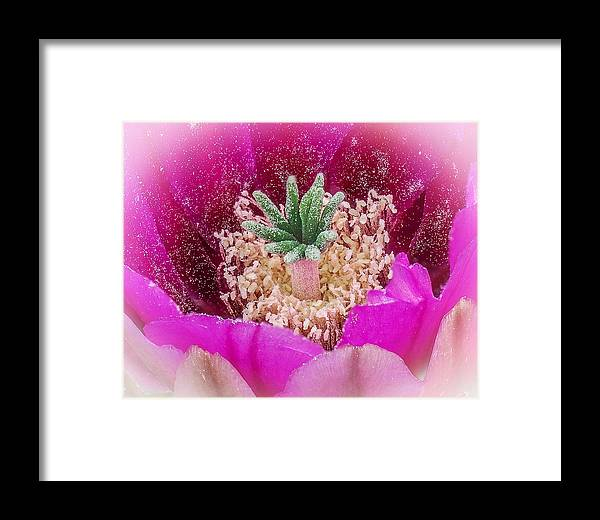 Cactus Framed Print featuring the photograph Cactus Flower 3 by Will Wagner