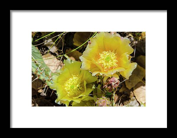 Arid Framed Print featuring the photograph Cactus Flowers, Capitol Reef National by Michael Defreitas