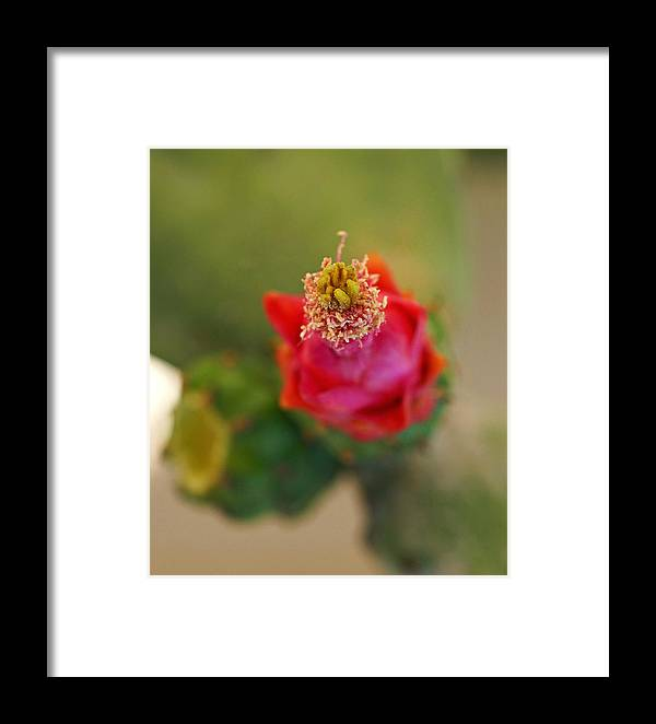 Cactus Framed Print featuring the photograph Cactus In Bloom by Carmen Del Valle