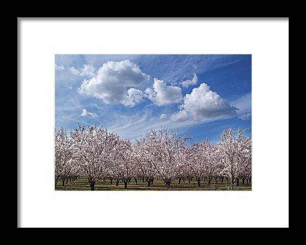 Tranquility Framed Print featuring the photograph California Almond Blossoms In Bloom by Barbara Rich