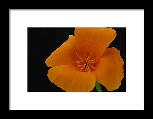 California Poppy Framed Print featuring the photograph California Poppy by Dan Peak