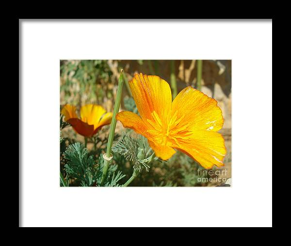 California Poppy Framed Print featuring the photograph California poppy in Europe by De La Rosa Concert Photography