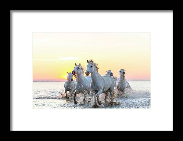 Animal Themes Framed Print featuring the photograph Camargue White Horses Running In Water by Peter Adams