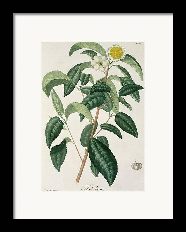 Floral Framed Print featuring the painting Camellia Thea by LFJ Hoquart