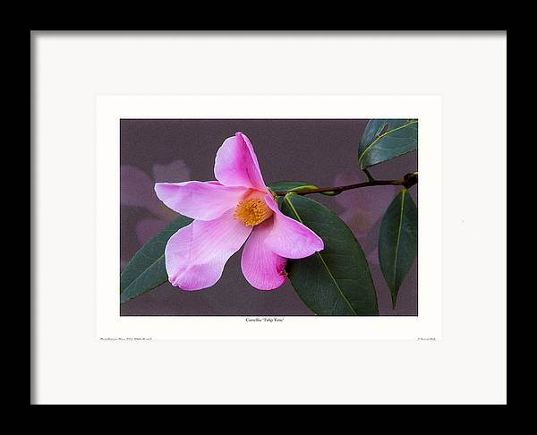 Camellia Framed Print featuring the photograph Camellia 'tulip Time' by Saxon Holt
