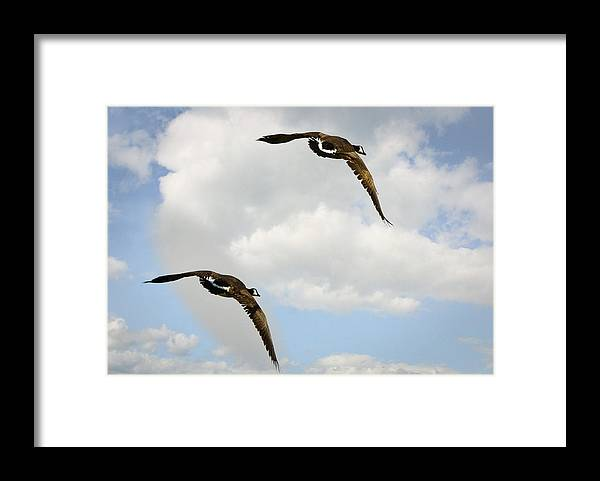 Canadian Geese Framed Print featuring the photograph Canada Geese by Saija Lehtonen
