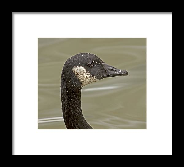 Goose Framed Print featuring the photograph Canada Goose Close-up by DK Hawk
