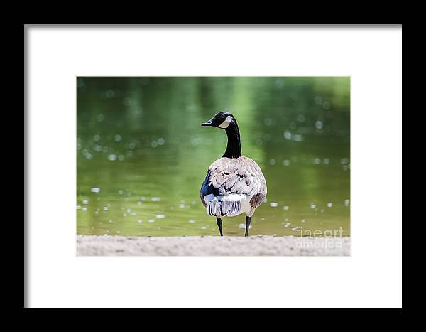 Goose Framed Print featuring the photograph Canada Goose by Yoko Takei Do