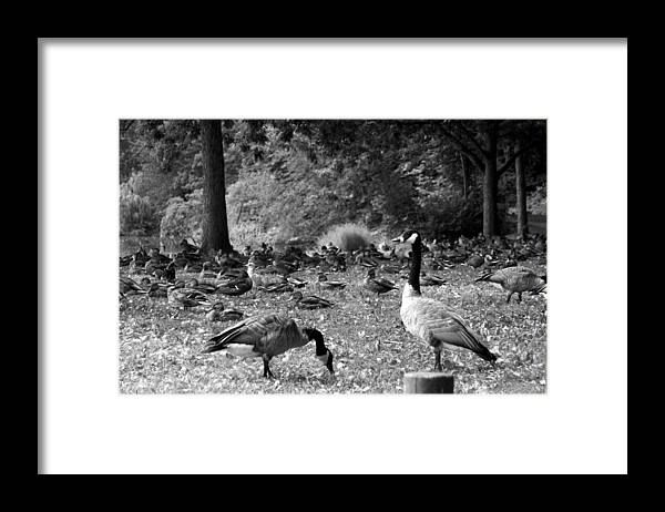 Canadian Geese Framed Print featuring the photograph Canadian Geese by Bob Pardue