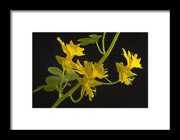Canary Framed Print featuring the photograph Canary Creeper by Robert Murray