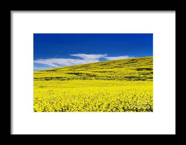 Canola Framed Print featuring the photograph Canola Field by Naphat Chantaravisoot