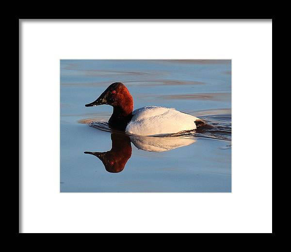 Canvasback Duck Framed Print featuring the photograph Canvasback Drake Reflection by John Dart