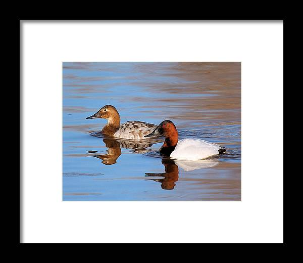 Canvasback Ducks Framed Print featuring the photograph Canvasback Pair by John Dart