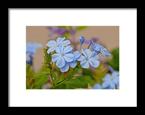 Flower Framed Print featuring the photograph Cape Plumbago by John Black