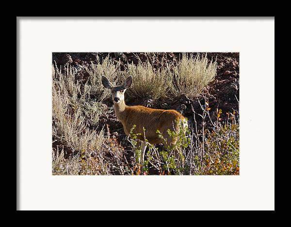 Black Mesa Framed Print featuring the photograph Capulon Doe by Charles Warren