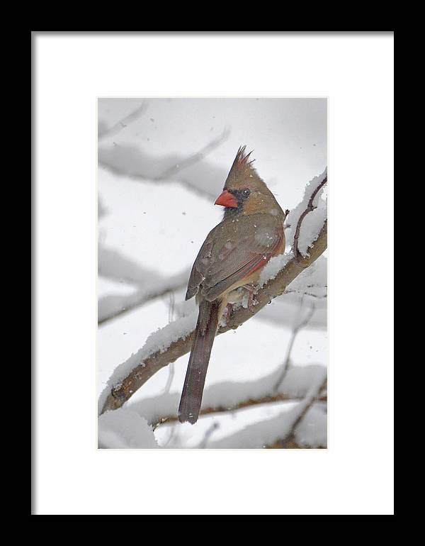 Cardinal Framed Print featuring the photograph Cardinal In Winter by Jim Rettker