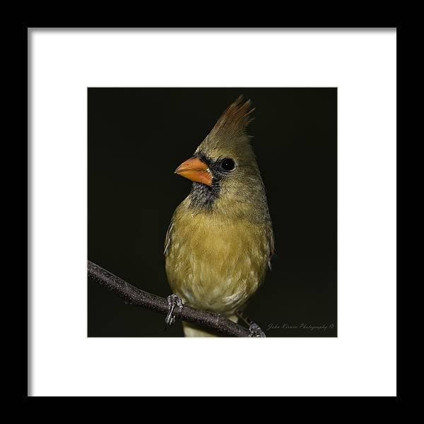 2012 Framed Print featuring the photograph Cardinal by John Kirwin