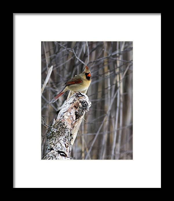 Cardinal Framed Print featuring the photograph Lady Cardinal by Pat Eisenberger