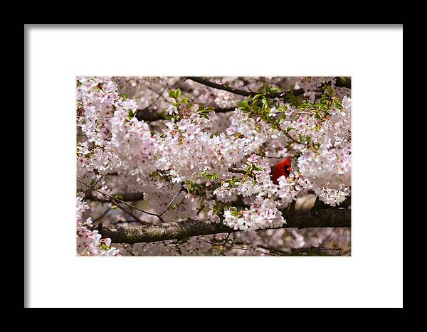 Bird Framed Print featuring the photograph Cardnel In A Cherry Tree by Nicholas Hall