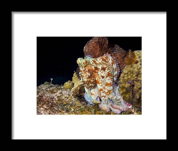Caribbean Framed Print featuring the photograph Caribbean Reef Octopus II by Matt Swinden
